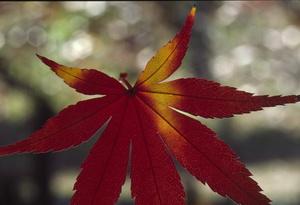 紅葉 風景 日光 中禅寺湖 熊木富男 撮影 ととら totora 葉のサムネイル画像