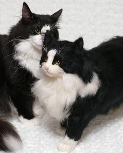ノルウェージャンフォレストキャット ミユ 羊毛猫
